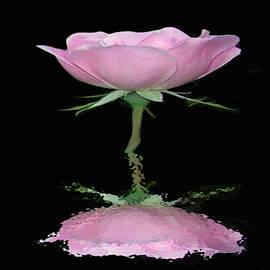 Dennis Buckman - Single Reflected Pink Rose