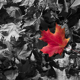 Daphne Sampson - Singled Outed Maple Leaf