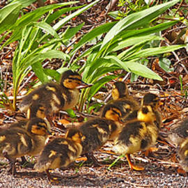 Dorothy  Pugh - Sixteen Mallard Ducklings