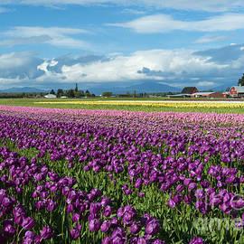 Skagit Tulip Storm