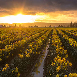 Mike Reid - Skagit Valley Daffodils Golden Sunset Light