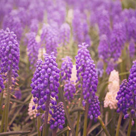 Cian Fenton - Skagit Valley Muscari