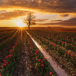 Mike Reid - Skagit Valley Tulip Fields Golden Sunset Sunstar