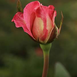 Sunil Kapadia - SKC 0423 An Elegant Blossom