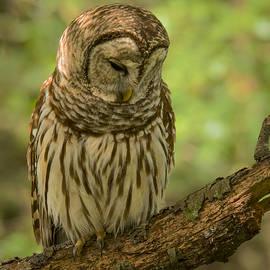Jean Noren - Sleeping Barred Owl