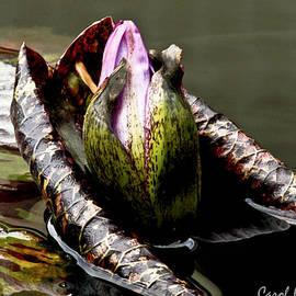 Carol F Austin - Sleeping Beauty in Water Lily Pond