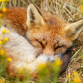 Sleeping Beauty - Sleeping Red Fox - Roeselien Raimond