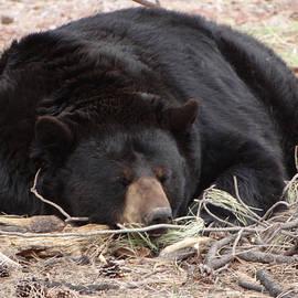 Jamie Ramirez - Sleeping Black Bear