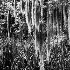 Glenn DiPaola - Slidell Spanish Moss