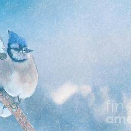 Janette Boyd - Small Blue Jay in Snowstorm