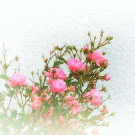 Small roses pink - SK Pfphotography