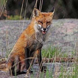 Vickie Emms - Smart Red Fox
