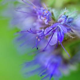 Mah FineArt - Smile of Bell Flower Nr. 1