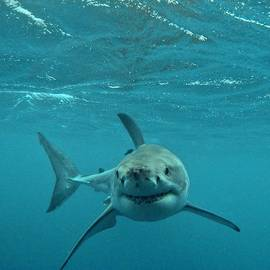 Crystal Beckmann - Smiley shark
