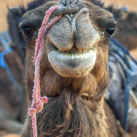 Patricia Hofmeester - Smiling camel