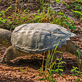 Michael Whitaker - Snapping Turtle