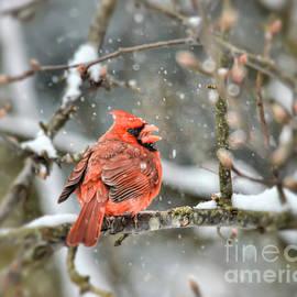 Kerri Farley - Snow Bird - Male Northern Cardinal