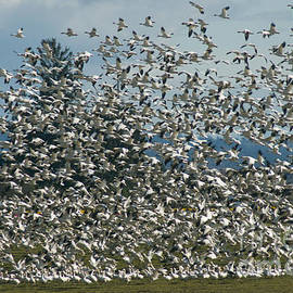 Louise Magno - Snow Geese Convention