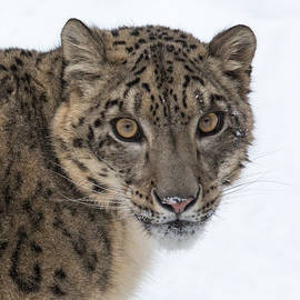 Zita Quentin - Snow Leopard Beauty