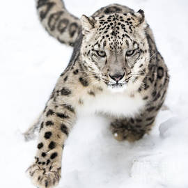 Abeselom Zerit - Snow Leopard on the Prowl VI