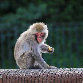 Daphne Sampson - Snow Monkey Feeding