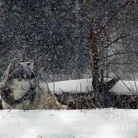 Steve  Gass - Snow Wolf