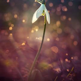 Jaroslaw Blaminsky - Snowdrop in spring rain