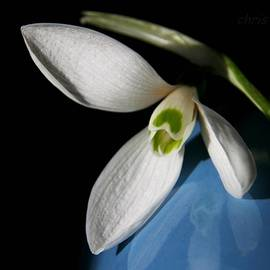 Chris Berry - Snowdrop on Blue and Black