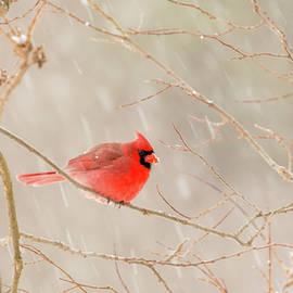 Edie Ann Mendenhall - Snowy Cardinal