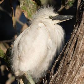 Kathleen Bishop - Snowy Egret Baby