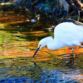 Ben Graham - Snowy Egret Hunting 2