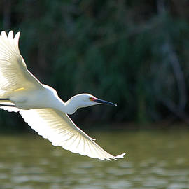 Roy Williams - Snowy Egret In Flight Over The Lake