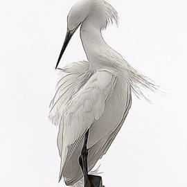 Ernie Echols - Snowy Egret Preening 1