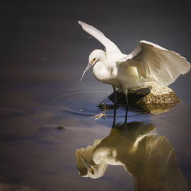 Janis Knight - Snowy Egret Reflection