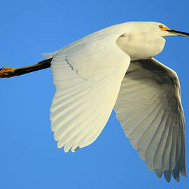 Matt Blankenship - Snowy Egret Wings 1