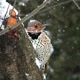 Trina Ansel - Snowy Northern Flicker