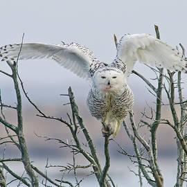 Morris Finkelstein - Snowy Owl at Forsythe NWR