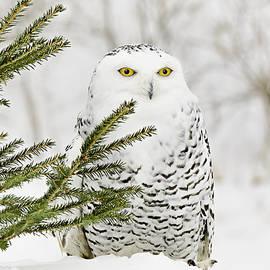 LeeAnn McLaneGoetz McLaneGoetzStudioLLCcom - Snowy Owl in the Snow