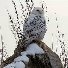 Kelly Ploof - Snowy Owl