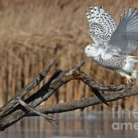 Dale Niesen - Snowy Owl takes flight