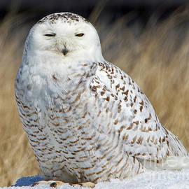 Lloyd Alexander - Snowy Owl Warming