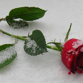 Lori Pessin Lafargue - Snowy Rose