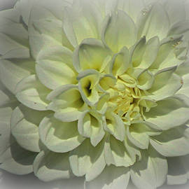Beverly Canterbury - Snowy White Dahlia