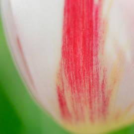 Matthias Hauser - Soft and tender Tulip closeup red white green