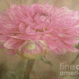 Judy Palkimas - Soft Graceful Pink Painted Dahlia