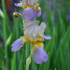 Carrie Goeringer - Soft Iris Petals
