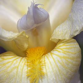 Phyllis Denton - Soft Lavender Iris