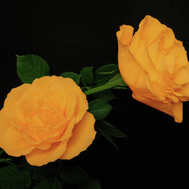 Johanna Hurmerinta - Soft Orange Roses