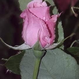 Jari Hawk - Soft Pale Pink Rose