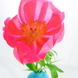 Iryna Soltyska - Soft peony flower isolated.